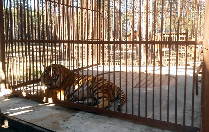 Klymenko helped to convey tigers and bears in Zaporozhye zoo